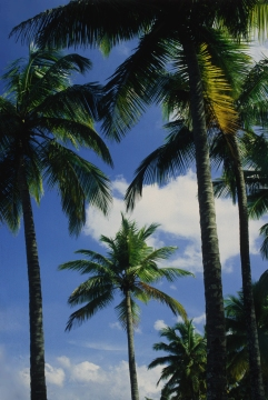 "Dominican Republic ""Palm"""