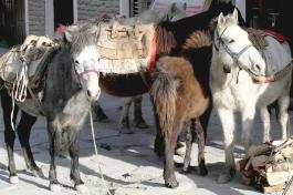 Ponies in Jomsom